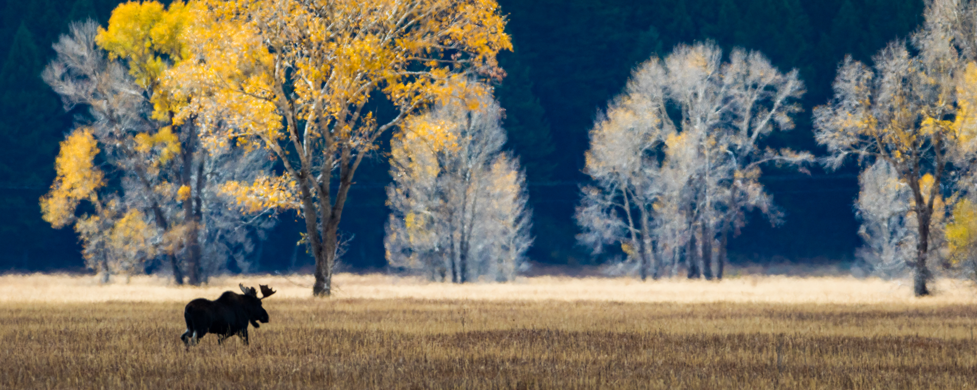 Tetons, Wyoming - A young bull moose heading across the old hayfields. 7596