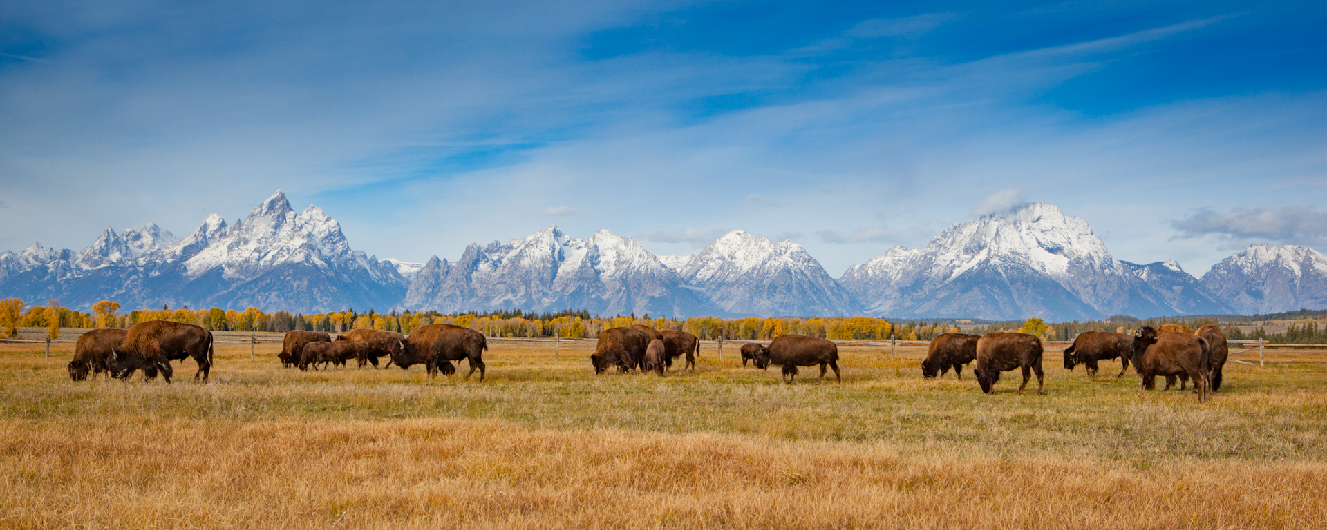 Tetons, Wyoming - A small herd of bison lazily graze against a backdrop of the Teton Range in early autumn. 4377